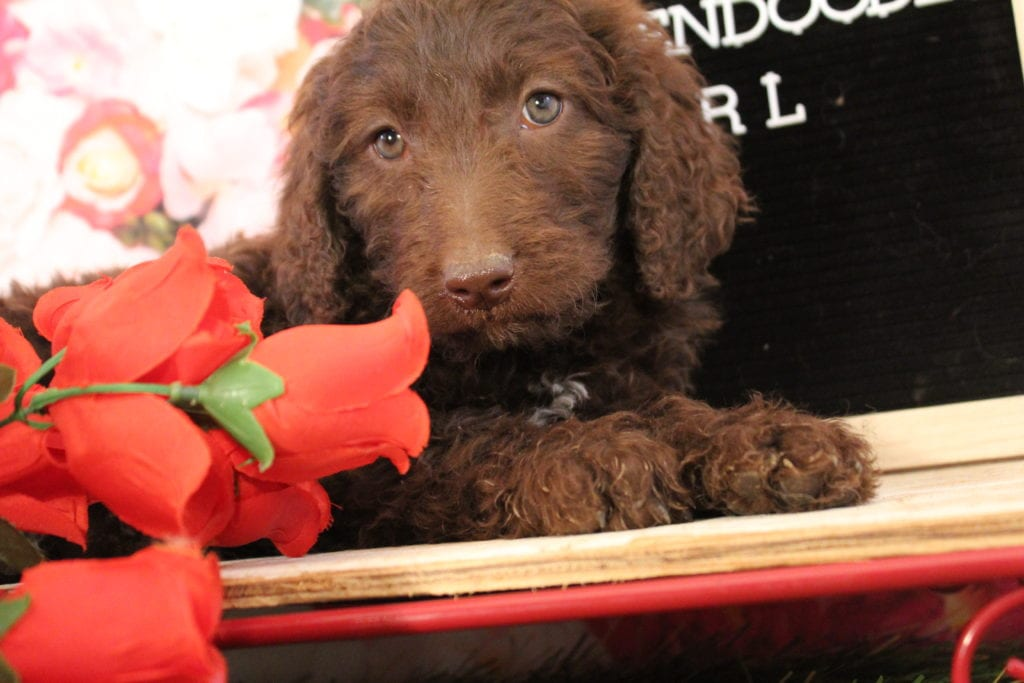 Lady Godiva came from Brittney and Miracle Max's litter of F2 Goldendoodles