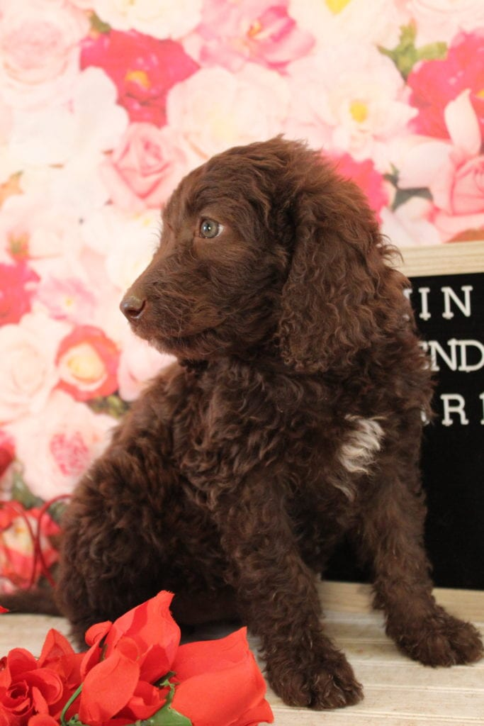 Lady Godiva is an F2 Goldendoodle that should have Medium, wavy to light curly merle f2 goldendoodldes