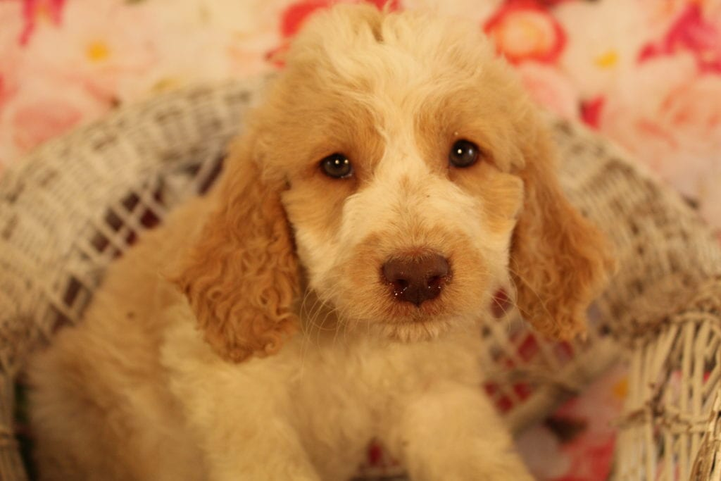 Caramel Cream is an F2 Goldendoodle that should have Medium, wavy to light curly merle f2 goldendoodldes