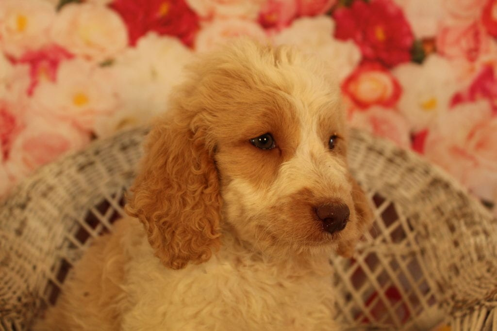 A picture of a Caramel Cream, one of Doodle Breeder's 40 pounds Goldendoodles