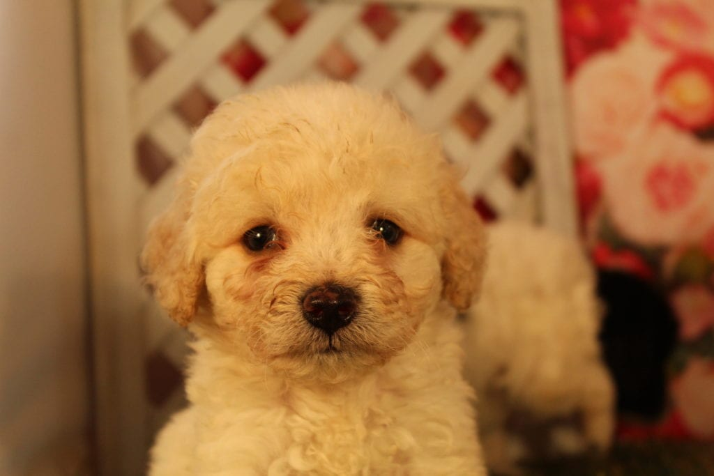A picture of a Bean, one of Doodle Breeder's 10 pounds Mini-goldendoodles