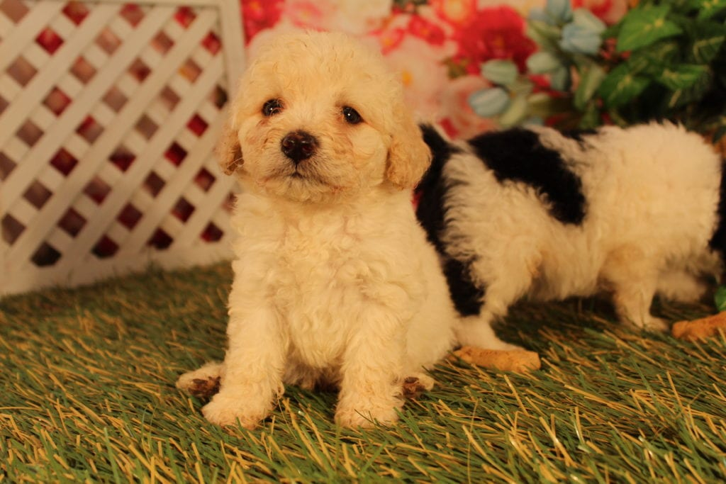 Bean is an F2 Mini-goldendoodle that should have Curly, mini-goldendoodles