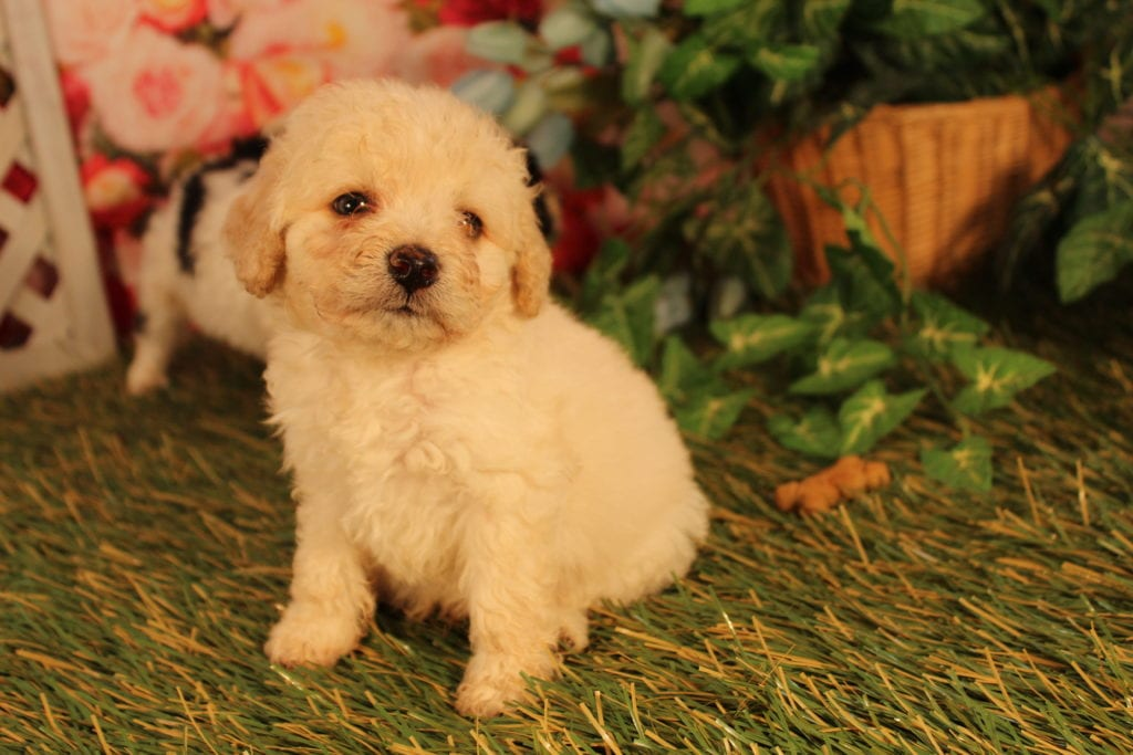 Bean came from Sister and Mongoose's litter of F2 Mini-goldendoodles