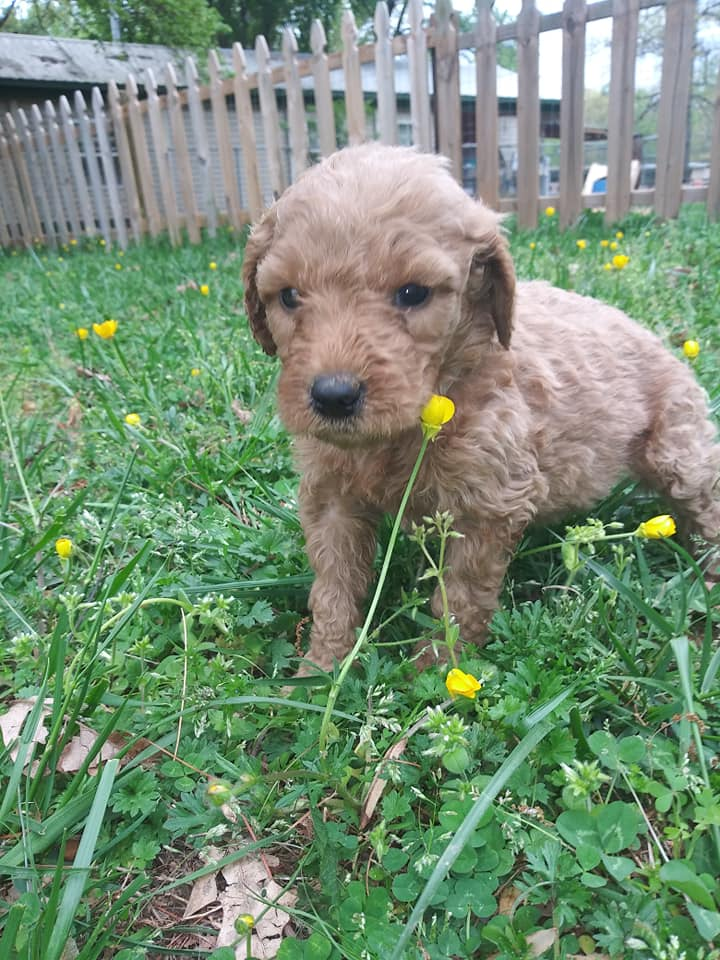 A picture of a Cora, one of Doodle Breeder's 40 pounds F1b Goldendoodles