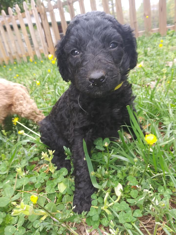 Jupiter came from Jupiter and Miracle Max's litter of F1B F1b Goldendoodles