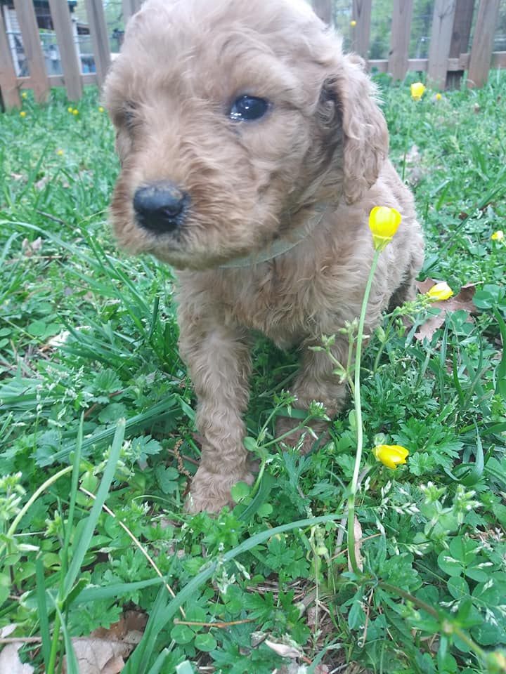Cora came from Cora and Miracle Max's litter of F1B F1b Goldendoodles