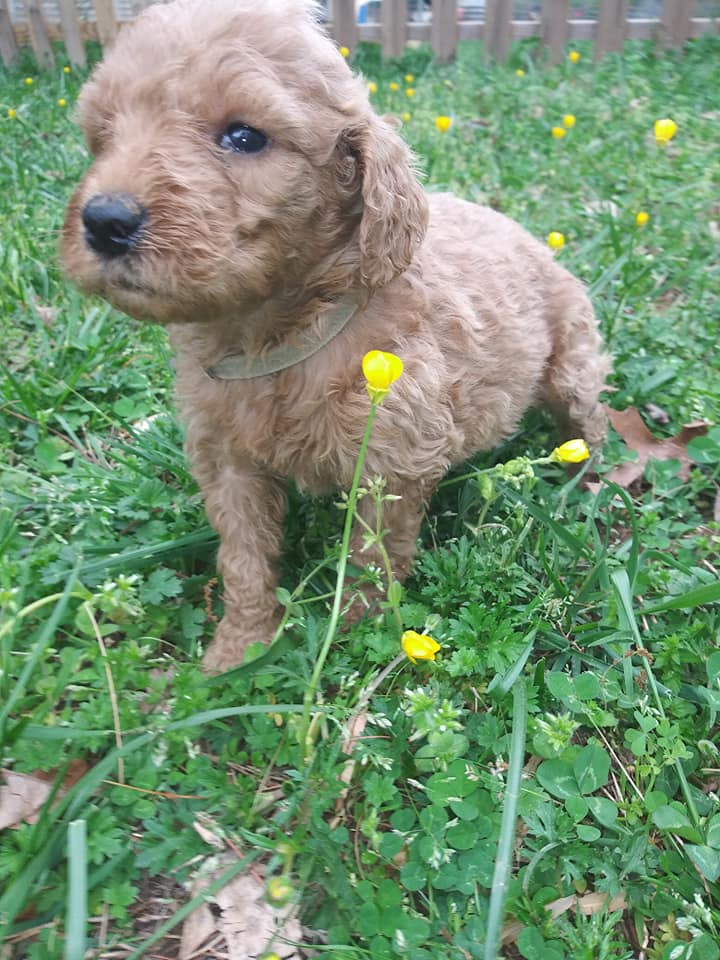 Cora is an F1B F1b Goldendoodle that should have Large, curly haired, non-shedding, hypoallergenic