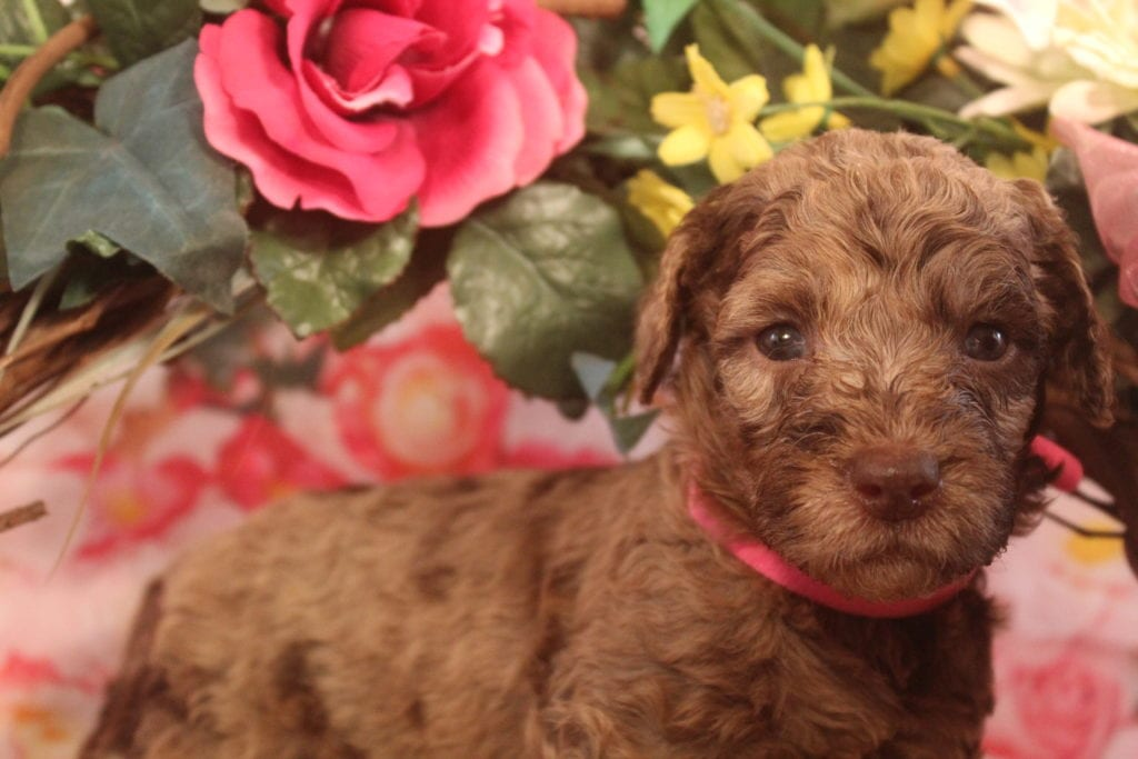 Artemis is an F1B F1b Goldendoodle that should have Large, curly haired, non-shedding, hypoallergenic