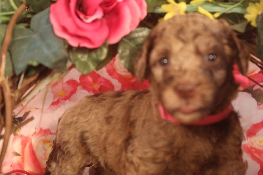 Artemis came from Artemis and Miracle Max's litter of F1B F1b Goldendoodles