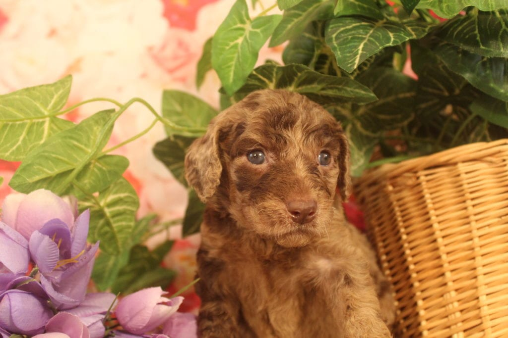 Artemis came from Last of the Summer Wine (Brandy) and Miracle Max's litter of F1B F1b Goldendoodles