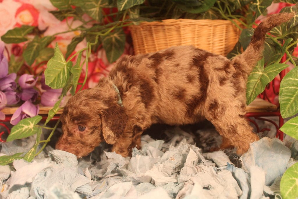 Aphrodite came from Aphrodite and Miracle Max's litter of F1B F1b Goldendoodles