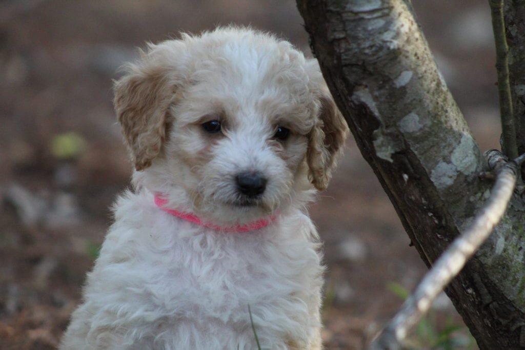 Rosie came from Princess Buttercup and Mongoose's litter of F1B F1b Goldendoodles