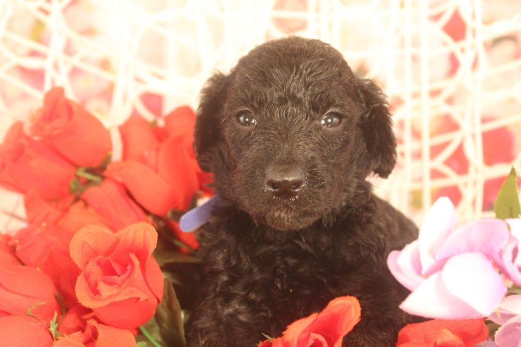 Presley came from Presley and Miracle Max's litter of F1B F1b Goldendoodles