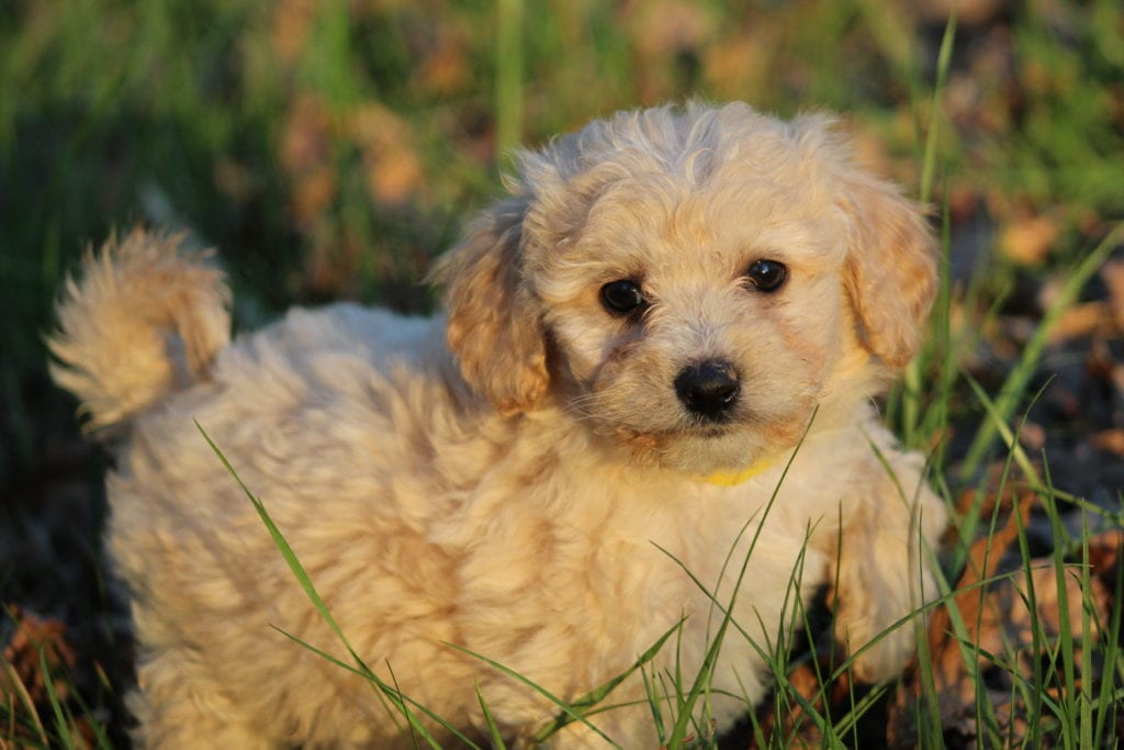 Amarilla is an F1B F1b Goldendoodle that should have Medium to small f1 b non-shedding allergy friendly curly goldendoodles