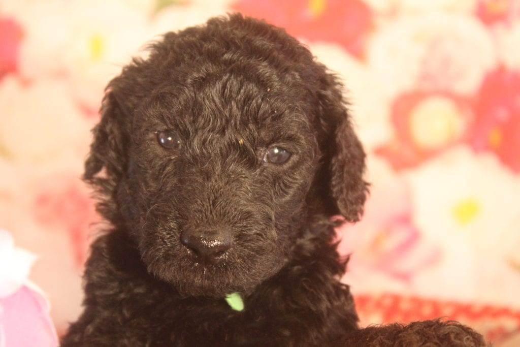 Roman came from Last of the Summer Wine (Brandy) and Miracle Max's litter of F1B F1b Goldendoodles