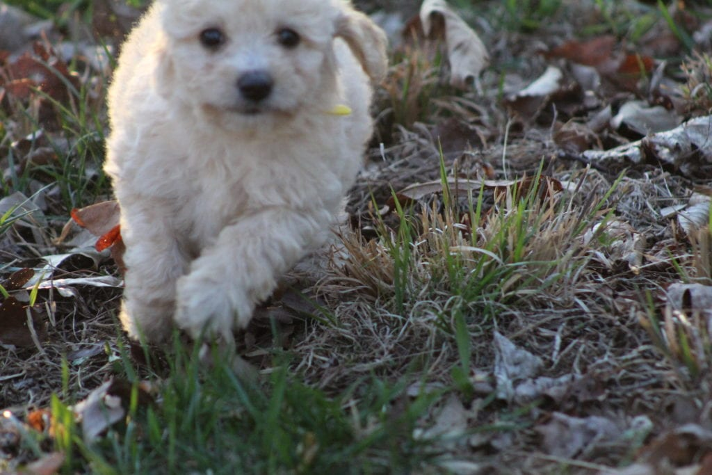 A picture of a Amarilla, one of Doodle Breeder's 15 pounds F1b Goldendoodles
