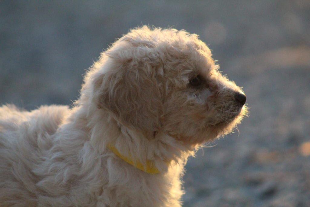 Amarilla came from Princess Buttercup and Mongoose's litter of F1B F1b Goldendoodles