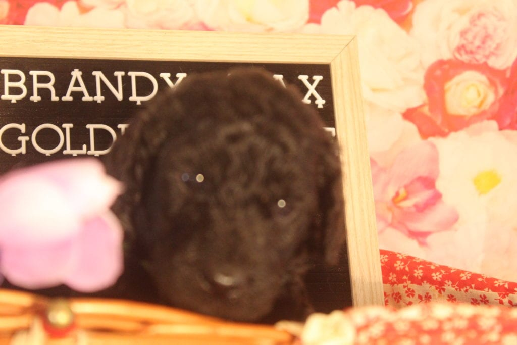 Roman came from Roman and Miracle Max's litter of F1B F1b Goldendoodles
