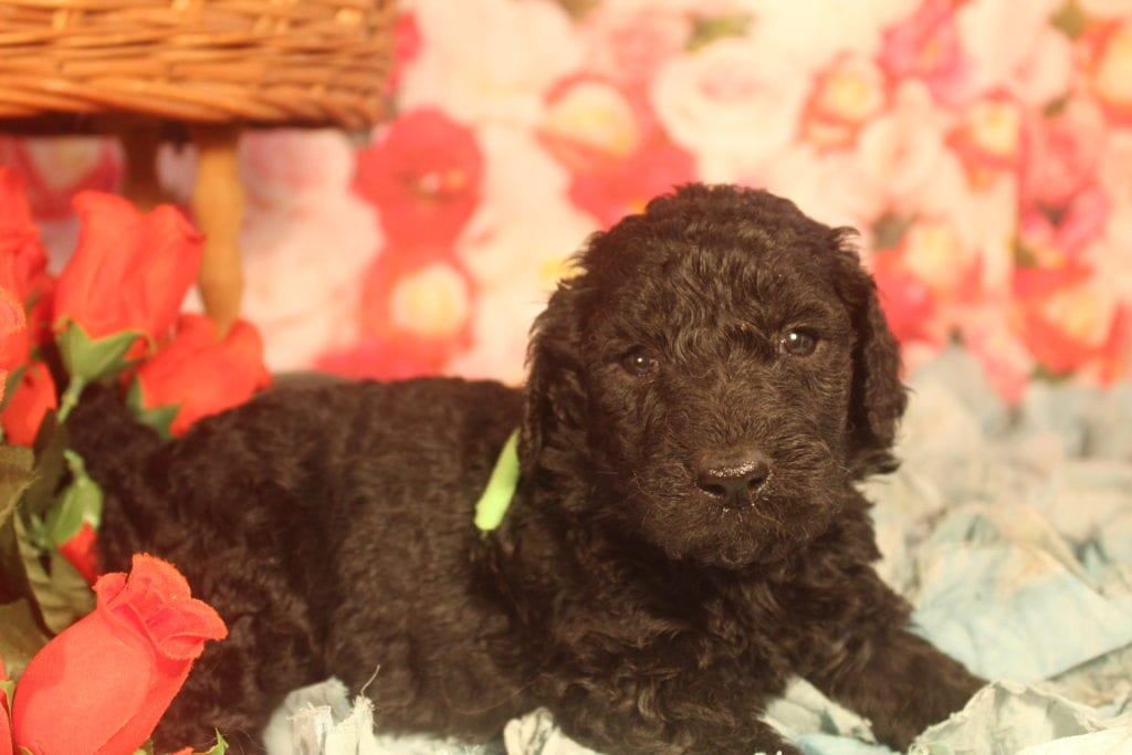 A picture of a Roman, one of Doodle Breeder's 40 pounds F1b Goldendoodles