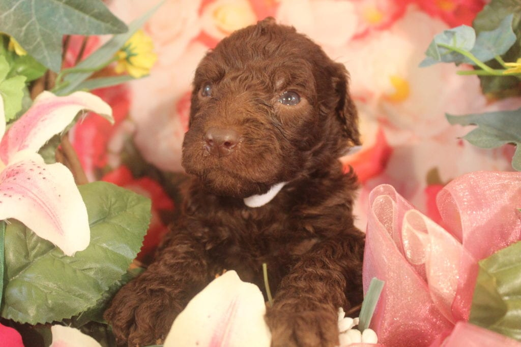 A picture of a Gaia, one of Doodle Breeder's 40 pounds F1b Goldendoodles