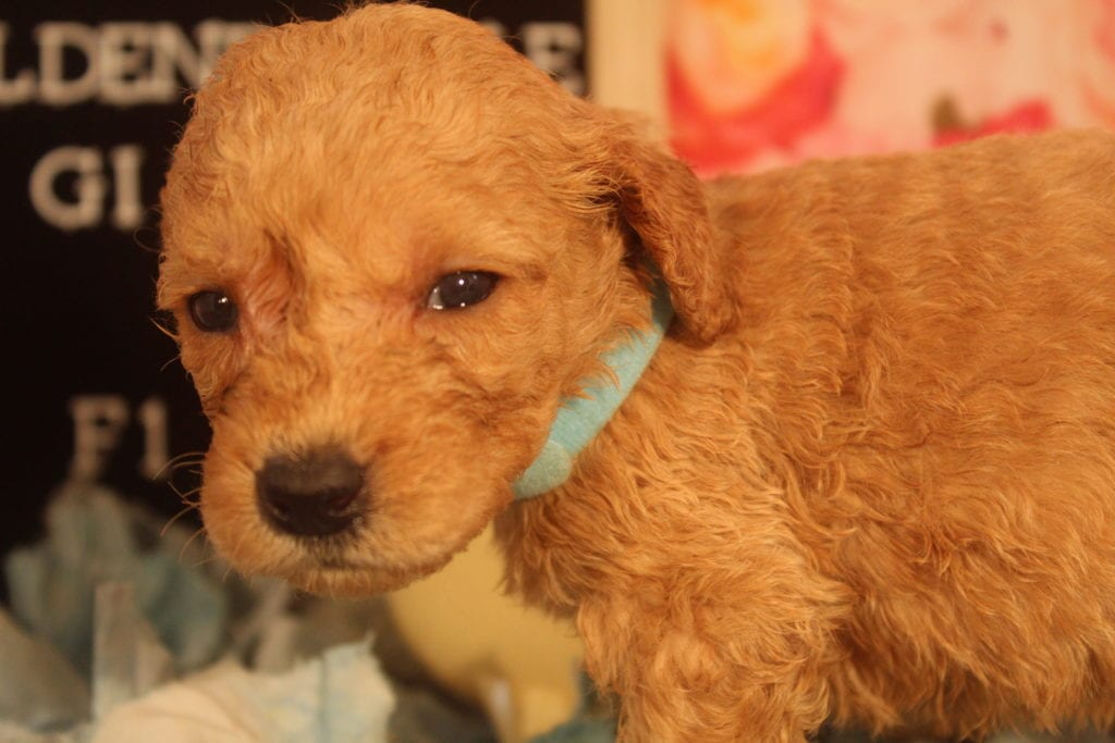Clio came from Clio and Miracle Max's litter of F1B F1b Goldendoodles