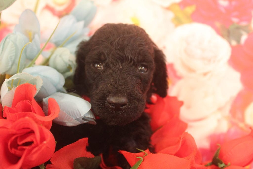 Devera came from Devera and Miracle Max's litter of F1B F1b Goldendoodles