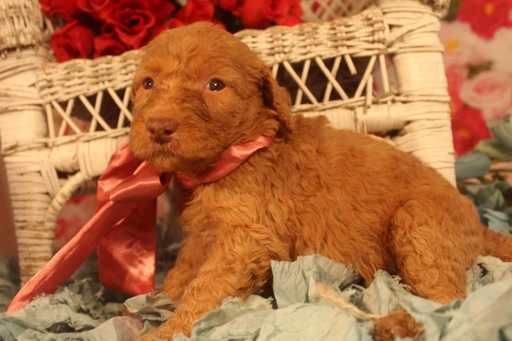 Calliope came from Last of the Summer Wine (Brandy) and Miracle Max's litter of F1B F1b Goldendoodles