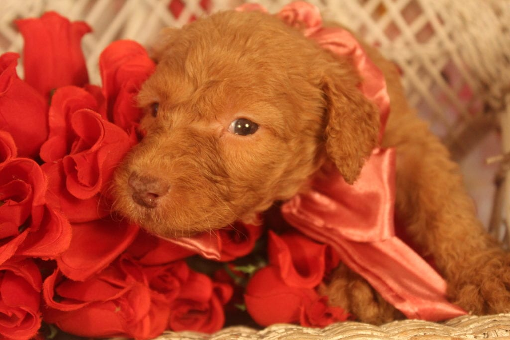 Calliope came from Calliope and Miracle Max's litter of F1B F1b Goldendoodles