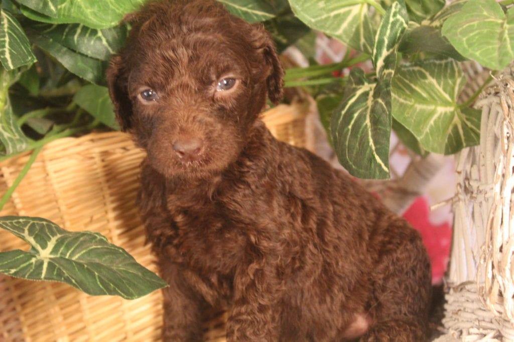 Athena came from Athena and Miracle Max's litter of F1B F1b Goldendoodles
