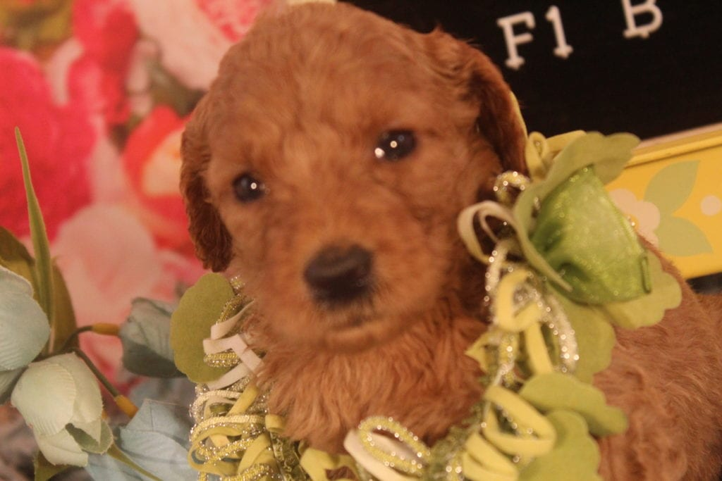 Calypso came from Calypso and Miracle Max's litter of F1B F1b Goldendoodles