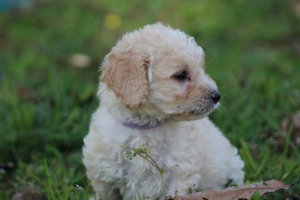 A picture of a Lilac, one of Doodle Breeder's 15 pounds F1b Goldendoodles