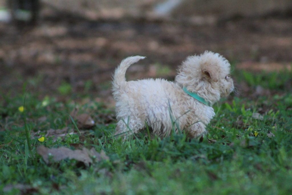 Indigo came from Princess Buttercup and Mongoose's litter of F1B F1b Goldendoodles
