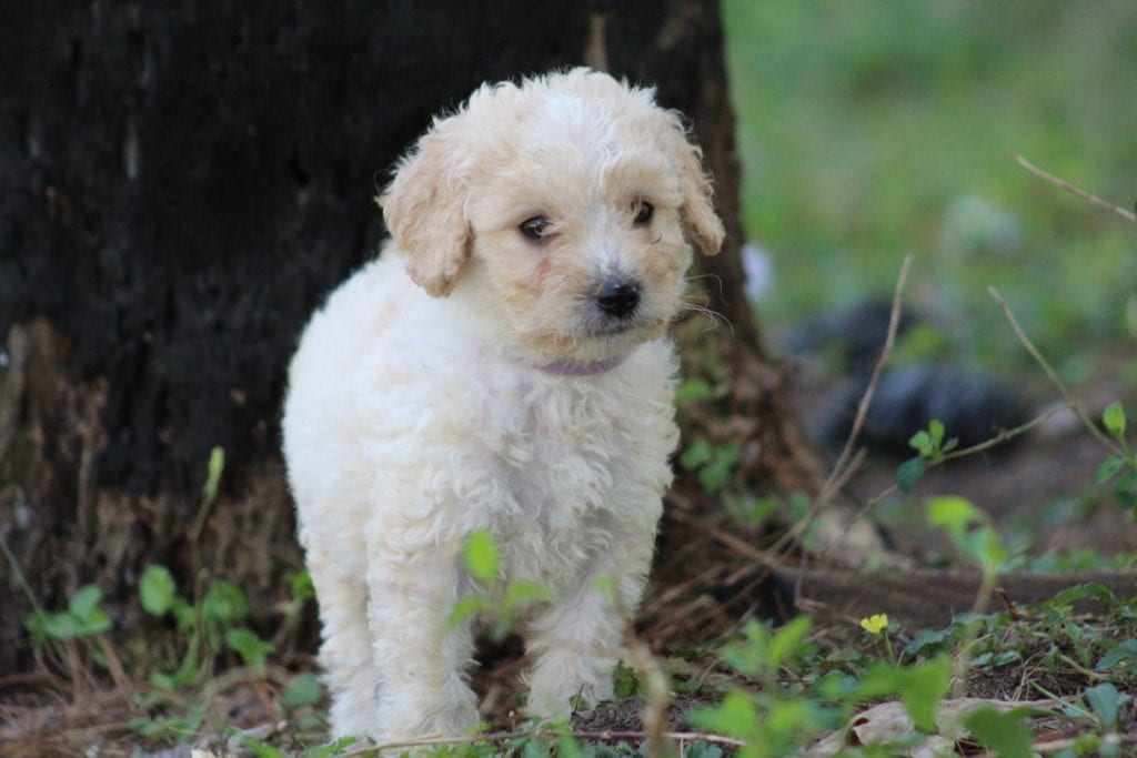 Lilac is an F1B F1b Goldendoodle that should have Medium to small f1 b non-shedding allergy friendly curly goldendoodles