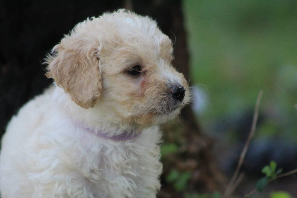 Lilac came from Princess Buttercup and Mongoose's litter of F1B F1b Goldendoodles