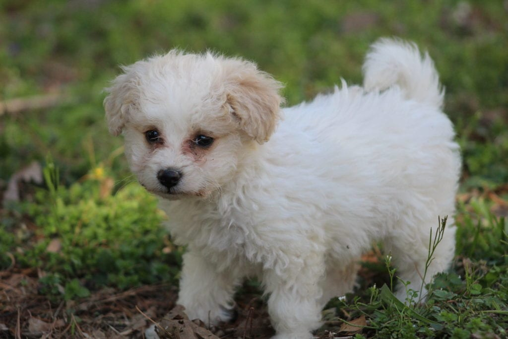 A picture of a Minnie, one of Doodle Breeder's 10 pounds Mini-goldendoodles