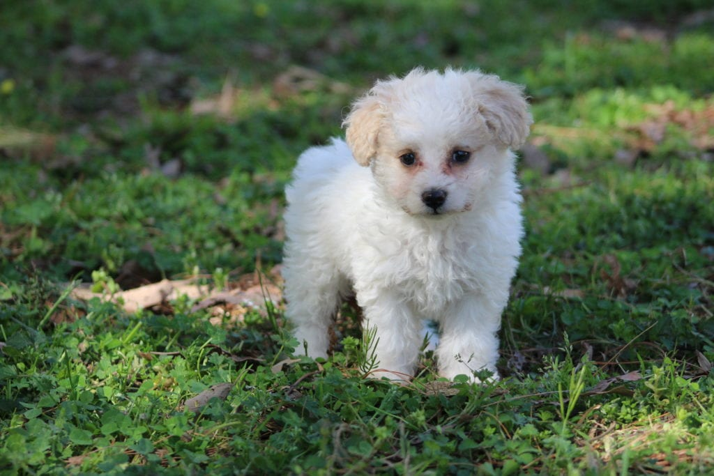 Minnie came from Sister and Mongoose's litter of F2 Mini-goldendoodles