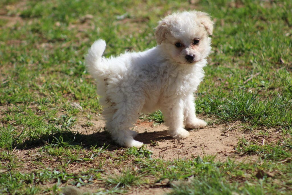 Minnie is an F2 Mini-goldendoodle that should have Curly, mini-goldendoodles
