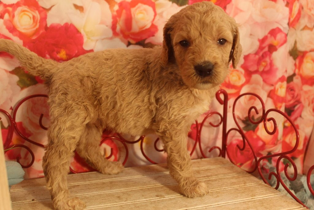 A picture of a Alastor, one of Doodle Breeder's 40 pounds F1b Goldendoodles