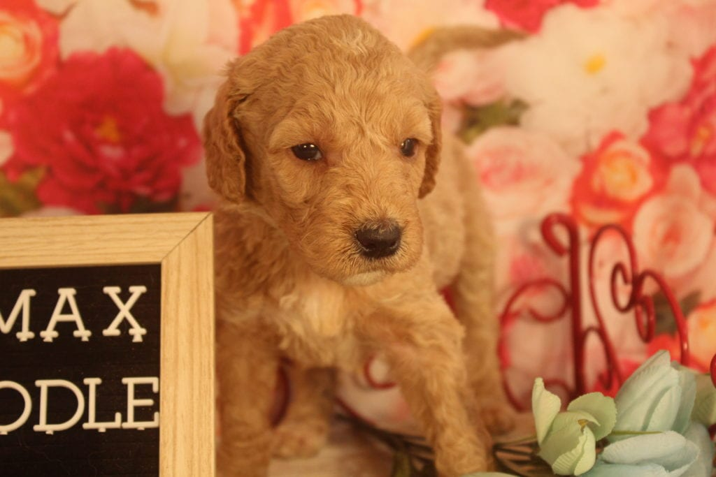 Alastor came from Alastor and Miracle Max's litter of F1B F1b Goldendoodles