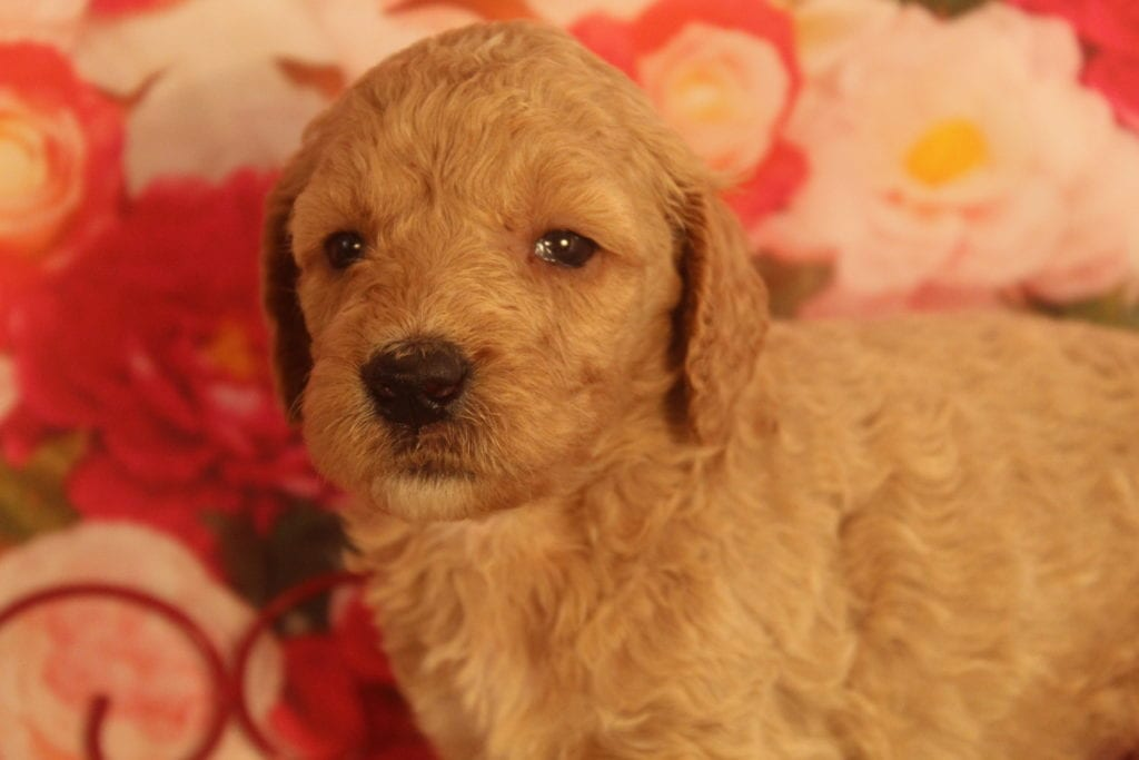 Alastor is an F1B F1b Goldendoodle that should have Large, curly haired, non-shedding, hypoallergenic