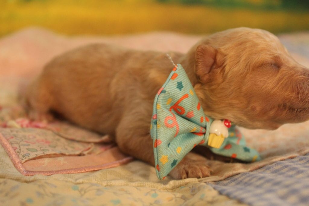 Mr. Peanut is an F2 f2 goldendoodle that should have Curly and wavy red and cream min dooddles