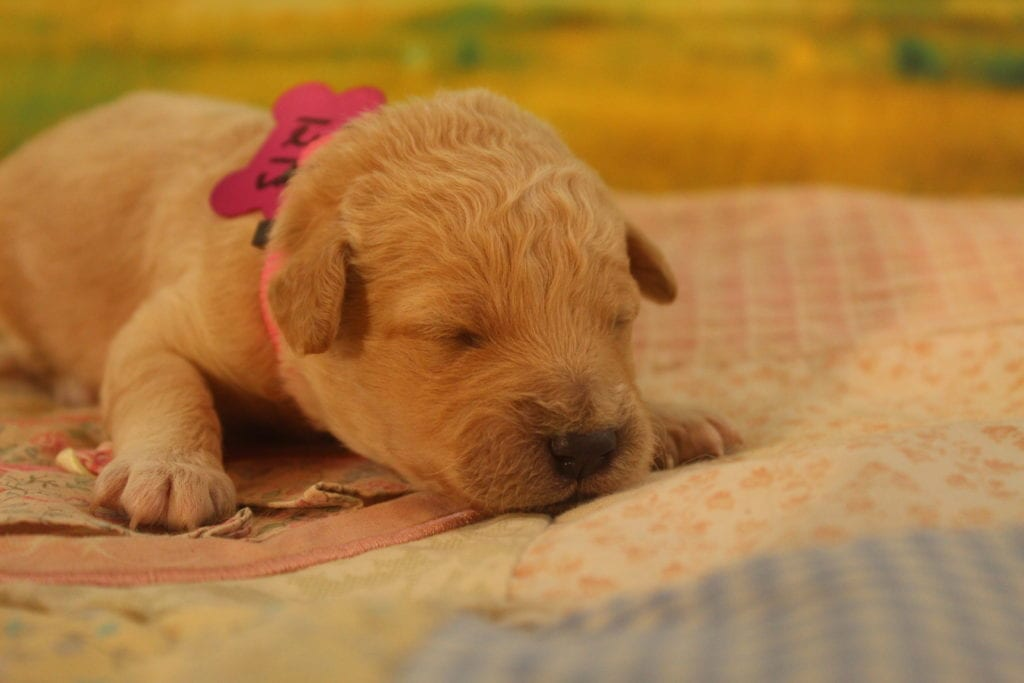Gracie came from Precious and Mongoose's litter of F2 f2 goldendoodles