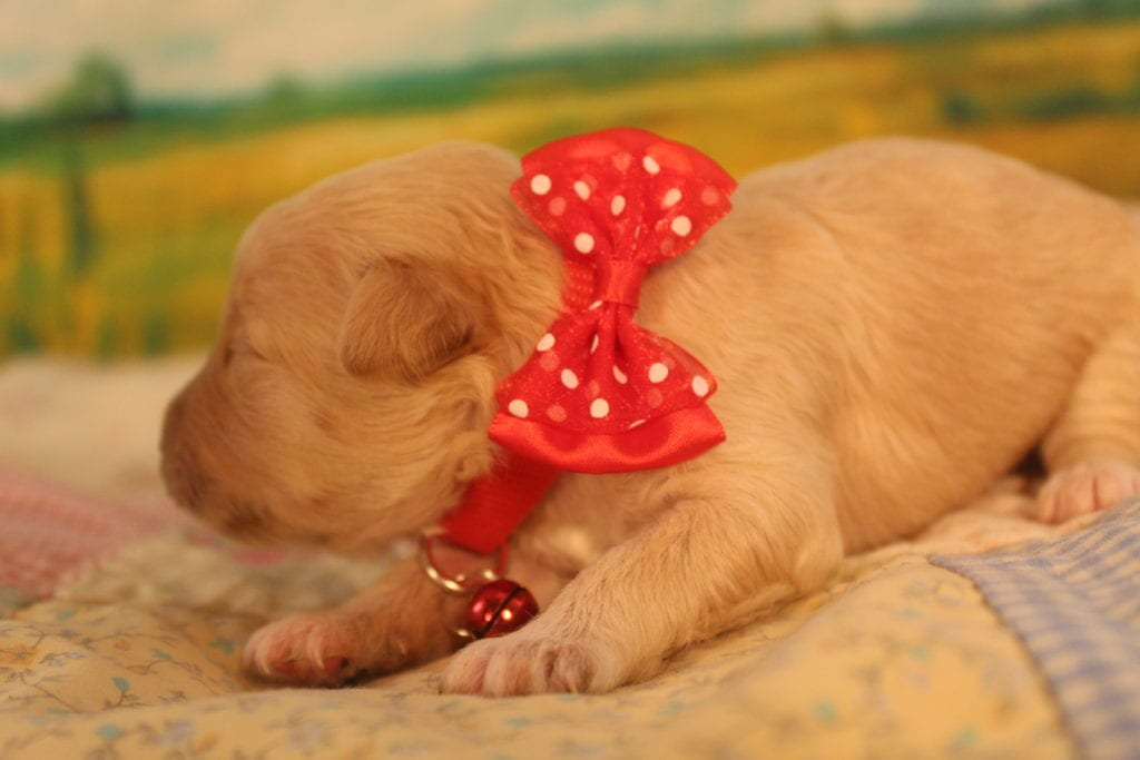 Love is an F2 f2 goldendoodle that should have Curly and wavy red and cream min dooddles