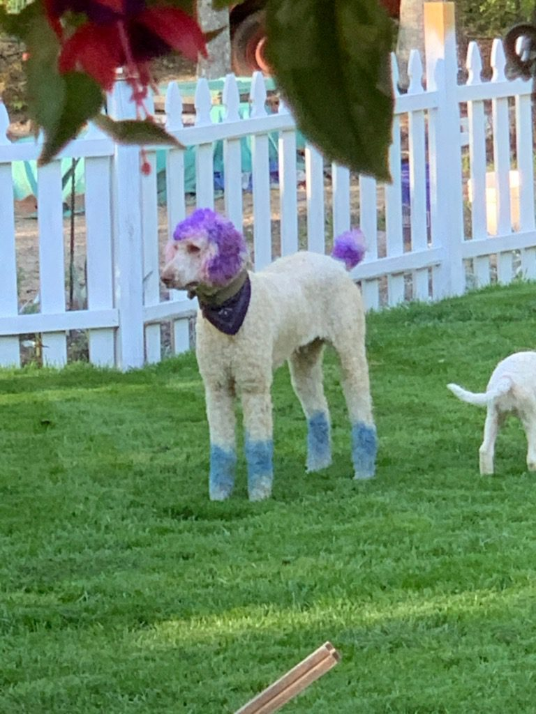 A picture of one of our AKC Standard Poodle father's, Moon Acres Eli.