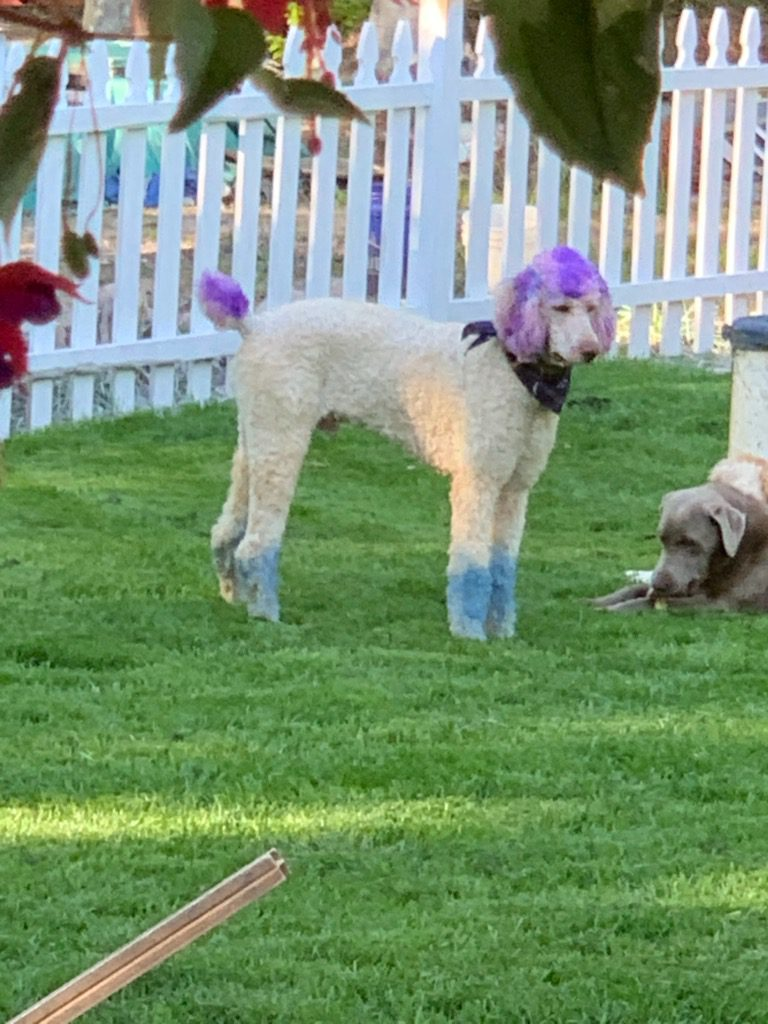 Moon Acres Eli is an  AKC Standard Poodle and a father here at Virginia Poodles and Doodles