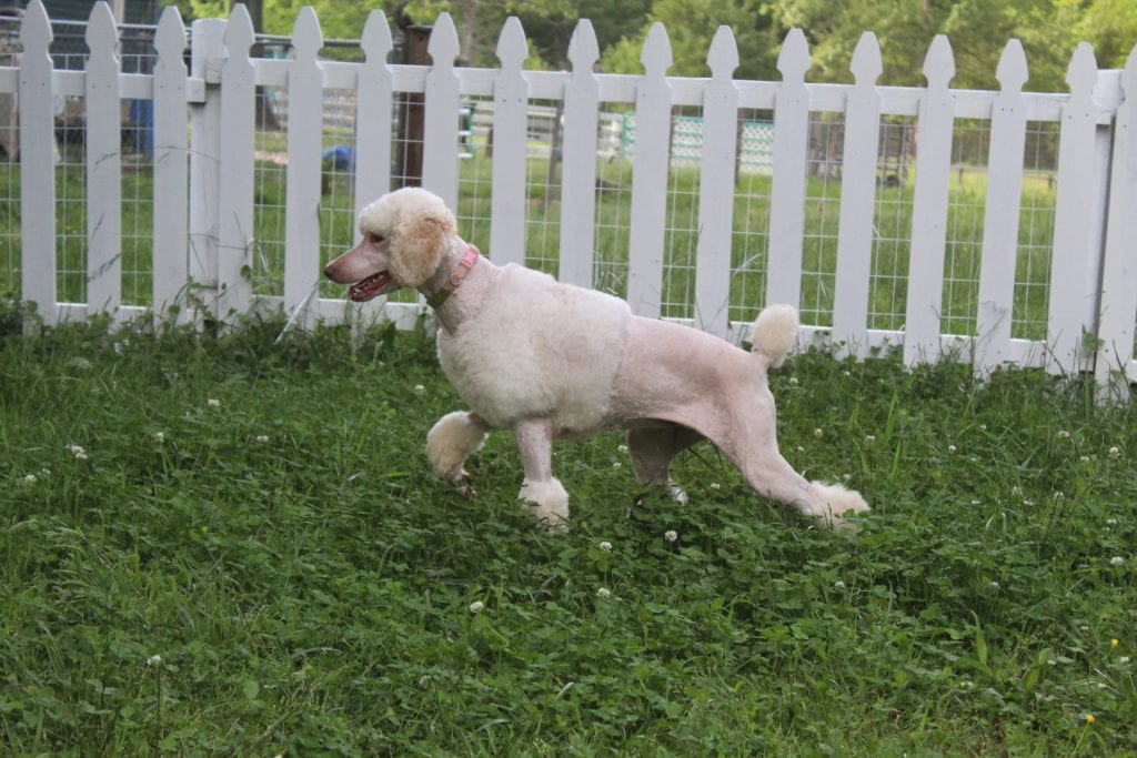 Princess Buttercup is an   and a mother here at Virginia Poodles and Doodles