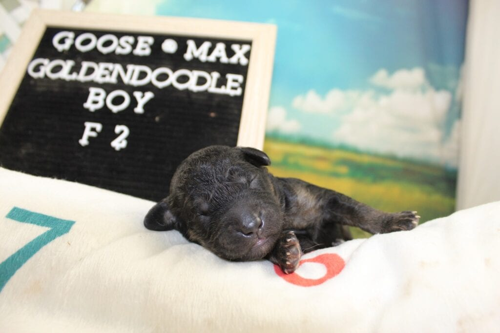 Goose Blue Collar came from Goose and Miracle Max's litter of F2 Goldendoodles