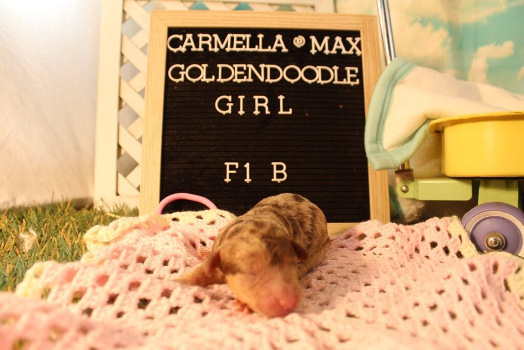 A litter of 40 pounds F1B Goldendoodles available in Virginia