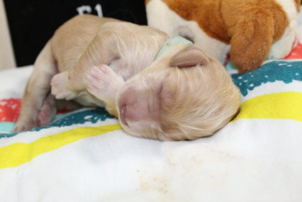 Light Blue Boy came from Isabella Rose (Izzy) and Moon Acres Eli's litter of F1 Goldendoodles