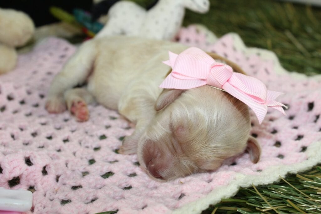 Latte is an F1 Goldendoodle that should have Cream, reds and parti
